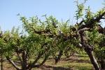 Schnepf Peach Orchard
