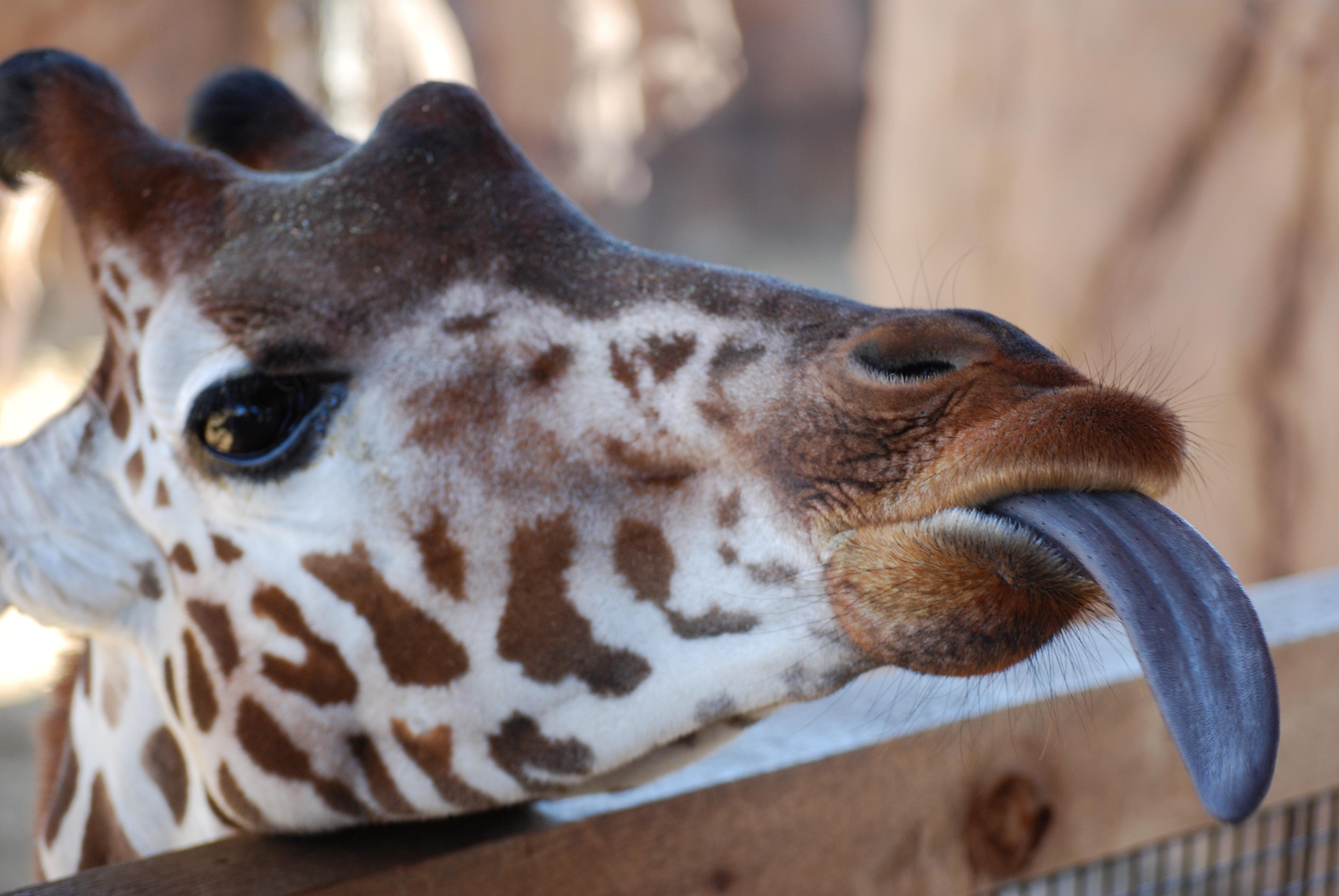 Giraffe tongue - photo#26