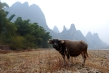 water buffalo at Li River