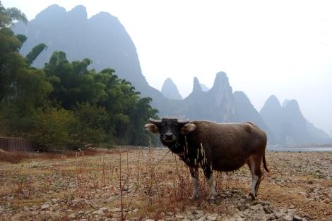water buffalo at Li River
