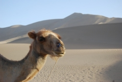 Camel in front of a dune