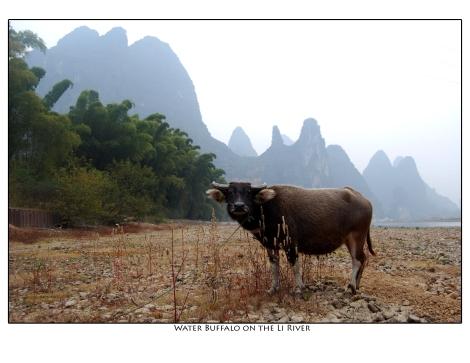 Water Buffalo on the Li River - June 2012 calendar