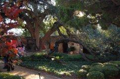 massive ancient tree at the Alamo