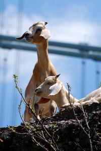 Goats and bridge
