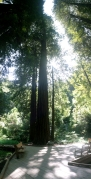 Muir Woods (102)