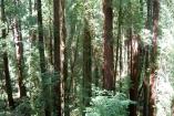 Muir Woods (27)