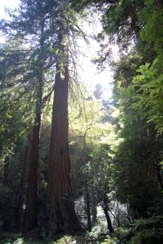 Muir Woods (94)